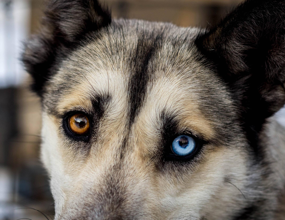 heterocromia animal